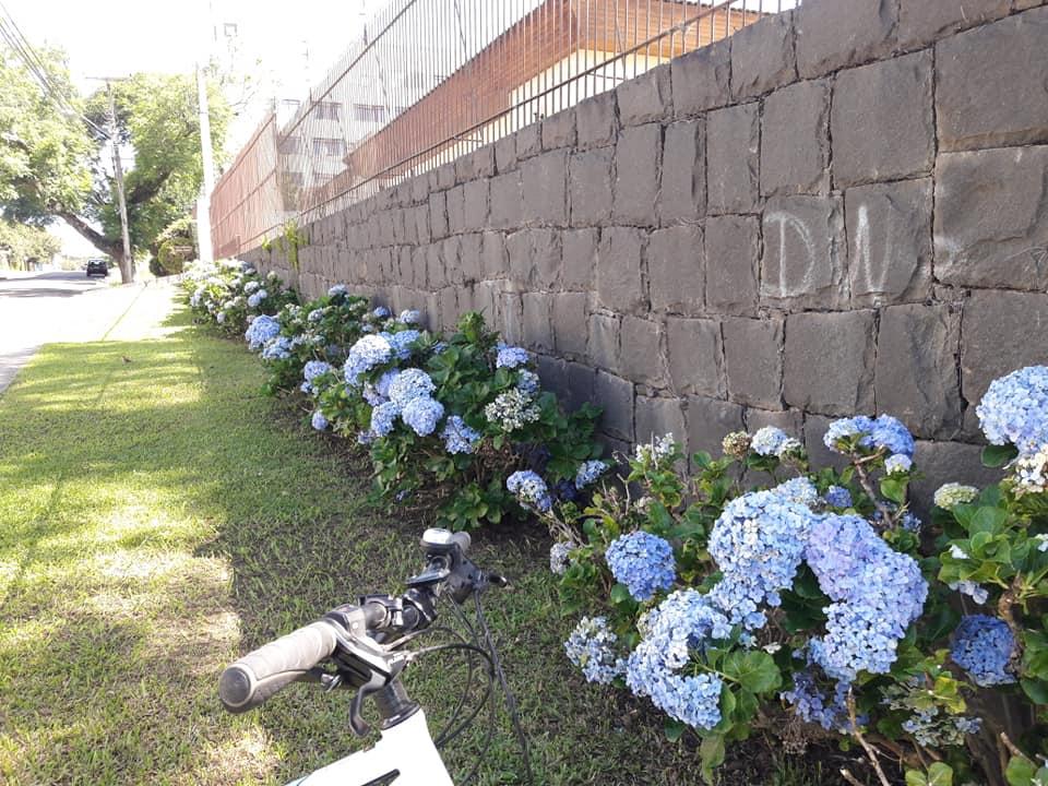 Hortênsias em Santa Quitéria (Curitiba)