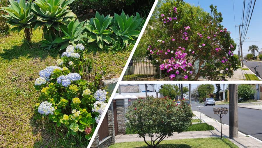 Calçadas floridas do Uberaba: rosas e hortênsias...