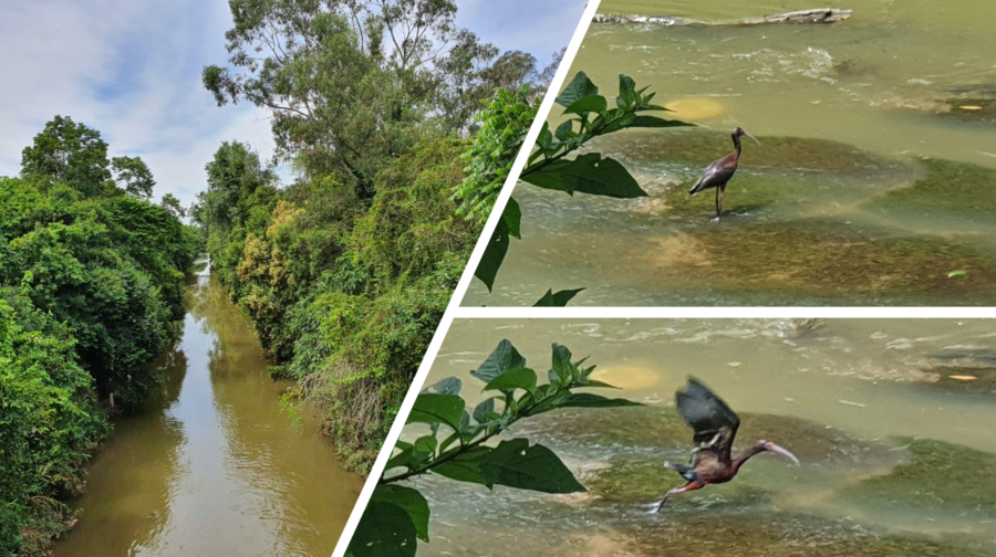 Rio Barigui e a ave coró-coró.