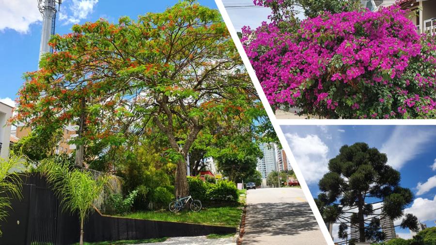 """A natureza no Mossunguê: flamboyant, que possui origem francesa e significa """"flamejante"""" pela forte coloração vermelha."""